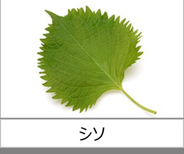 灯菜で育てられる野菜_シソ