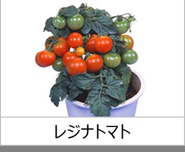 灯菜で育てられる野菜_レジナトマト