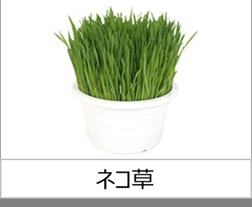 灯菜で育てられる野菜_ネコ草